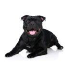 Petland Oklahoma City & Tulsa Staffordshire Bull Terrier