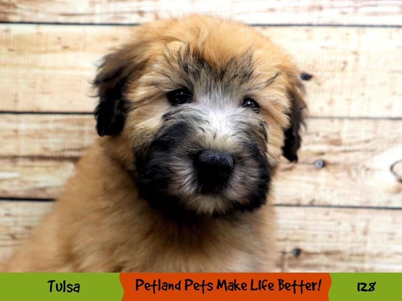 Soft Coated Wheaten Terrier-Female-Wheaten-2965711-Petland Oklahoma City & Tulsa