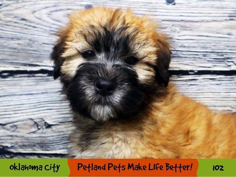 Soft Coated Wheaten Terrier-Male-Wheaten-2965126-Petland Oklahoma City & Tulsa