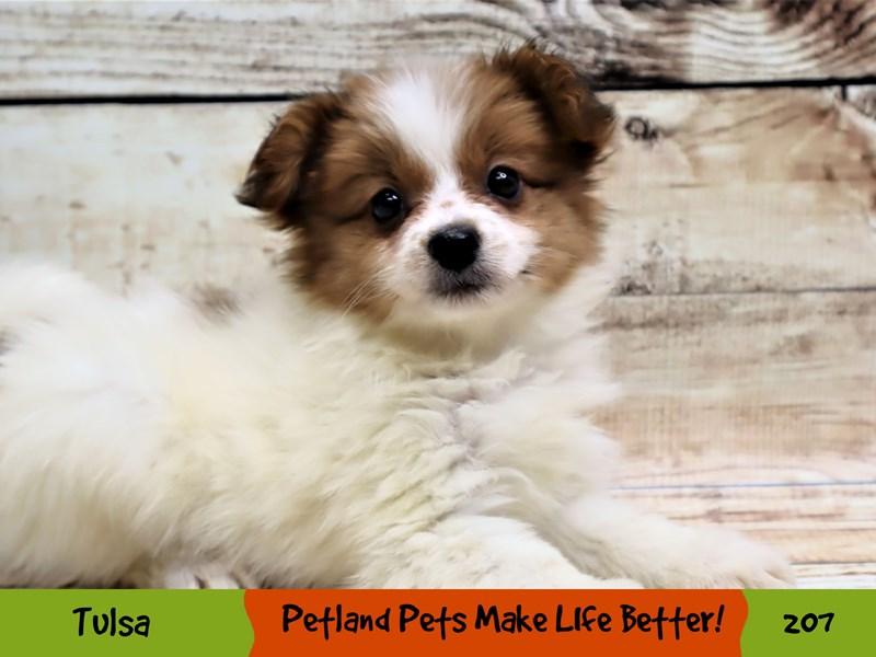 Papillon-Female-White and Red-3036246-Petland Oklahoma City & Tulsa