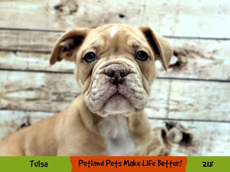 Olde English Bulldogge-Male-Red Chocolate-3056564-Petland Oklahoma City & Tulsa