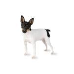 Petland Oklahoma City & Tulsa Toy Fox Terrier