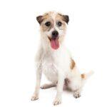 Petland Oklahoma City & Tulsa Jack Russell Terrier