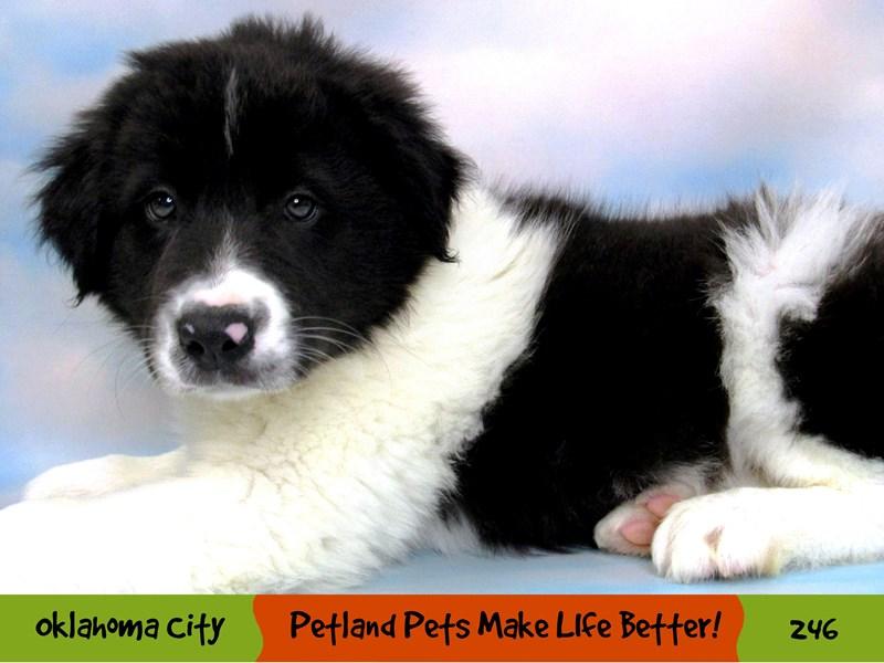 Border Collie-Male-Black and White-3111861-Petland Oklahoma City & Tulsa