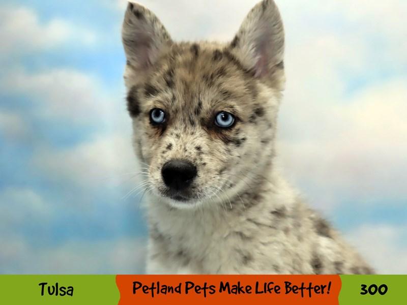 Pomski-Male-Blue Merle-3122878-Petland Oklahoma City & Tulsa