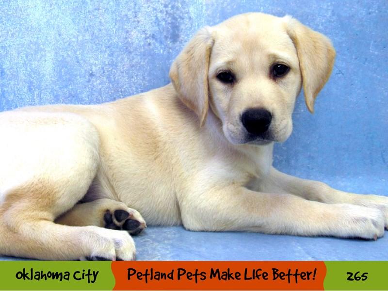 Labrador Retriever-Female-Yellow-3144896-Petland Oklahoma City & Tulsa