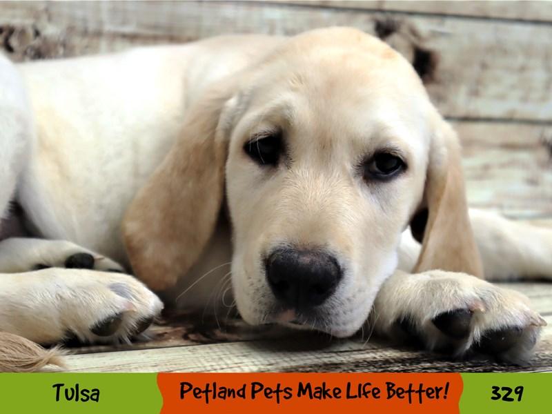 Labrador Retriever-Male-Yellow-3154906-Petland Oklahoma City & Tulsa