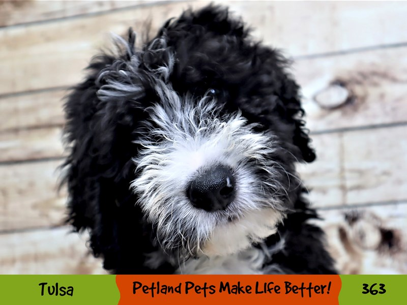 Bernedoodle-Male-Black and White-3191116-Petland Oklahoma City & Tulsa
