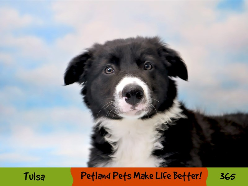 Border Collie-Male-Black and White-3209382-Petland Oklahoma City & Tulsa