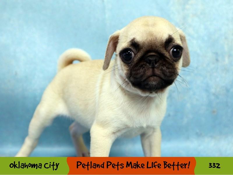 Pug-Female-Fawn-3221023-Petland Oklahoma City & Tulsa