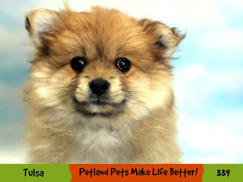 Pomeranian-Male-Orange Sable-3172869-Petland Oklahoma City & Tulsa