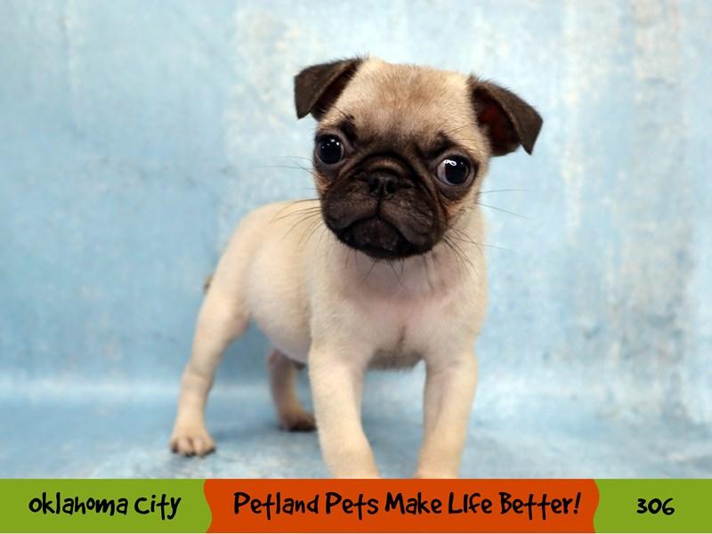 Pug-Male-Fawn-3182013-Petland Oklahoma City & Tulsa