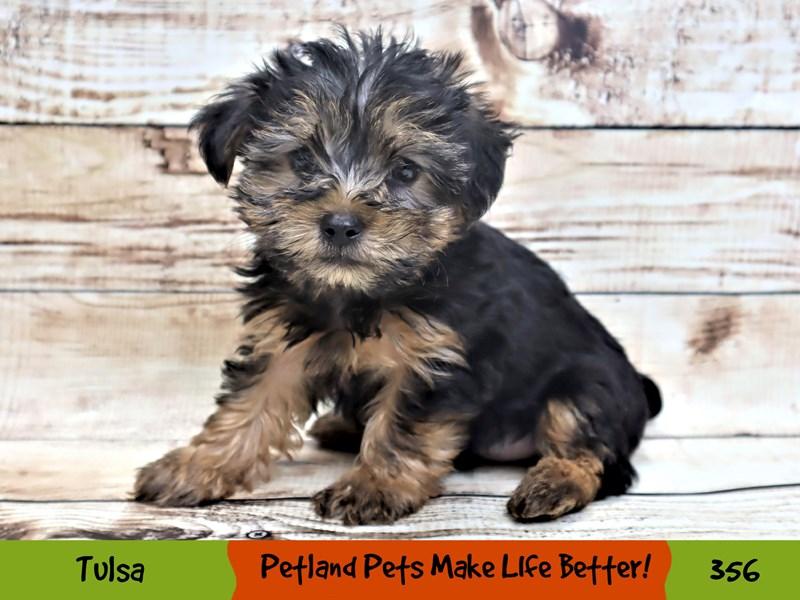 Yorkshire Terrier-Male-Black / Tan-3190648-Petland Oklahoma City & Tulsa