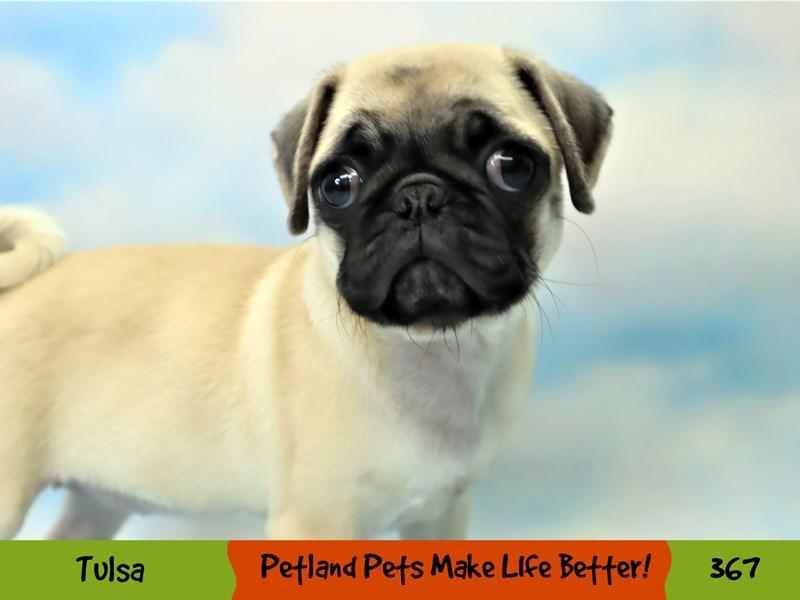 Pug-Female-Fawn-3209438-Petland Oklahoma City & Tulsa