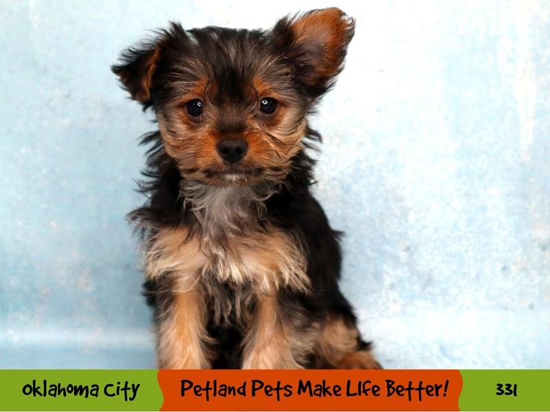 Yorkshire Terrier-Female-Black / Tan-3220986-Petland Oklahoma City & Tulsa