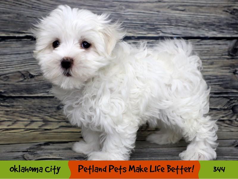 Maltese-Female-White-3229246-Petland Oklahoma City & Tulsa