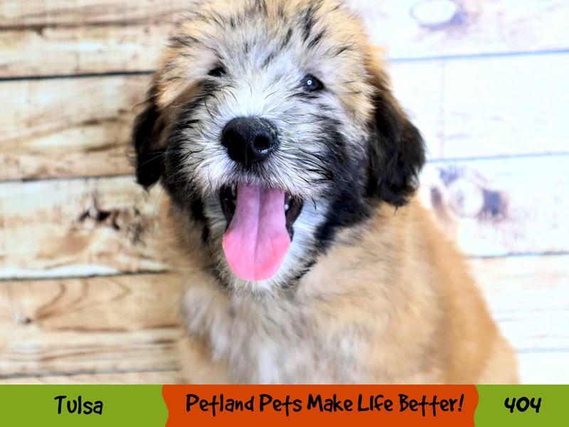 Soft Coated Wheaten Terrier-Male-Wheaten-3229458-Petland Oklahoma City & Tulsa