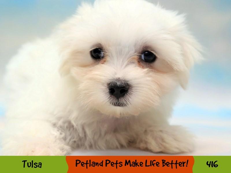 Maltese-Female-White-3248676-Petland Oklahoma City & Tulsa