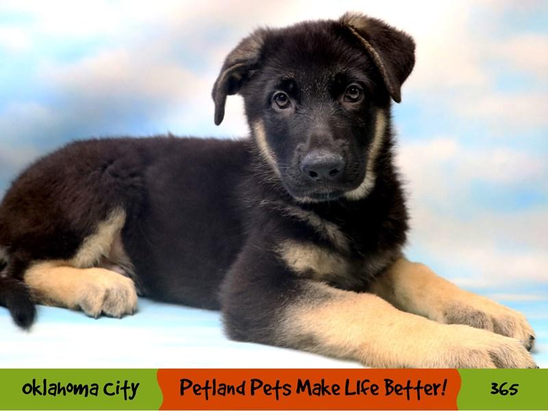 German Shepherd-Male-Black and Tan-3249177-Petland Oklahoma City & Tulsa