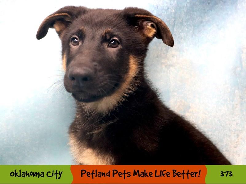German Shepherd-Male-Black and Tan-3249178-Petland Oklahoma City & Tulsa