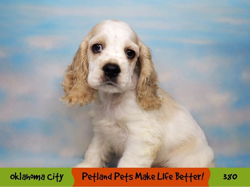 Cocker Spaniel-Male-Buff and White-3257871-Petland Oklahoma City & Tulsa