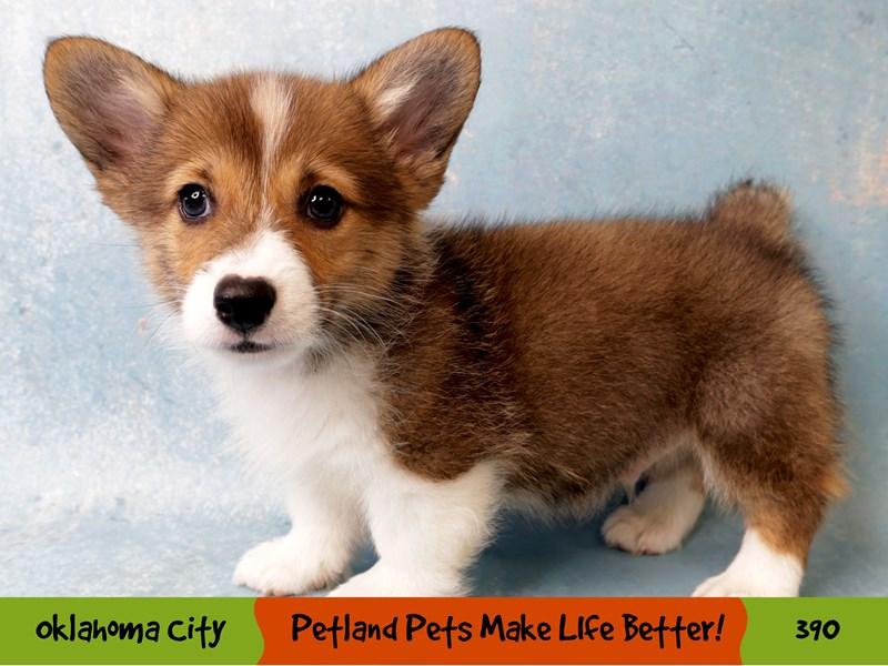 Pembroke Welsh Corgi-Male-Red / White-3268865-Petland Oklahoma City & Tulsa