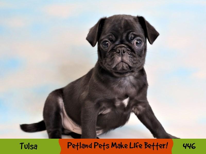 Pug-Male-Black-3267312-Petland Oklahoma City & Tulsa