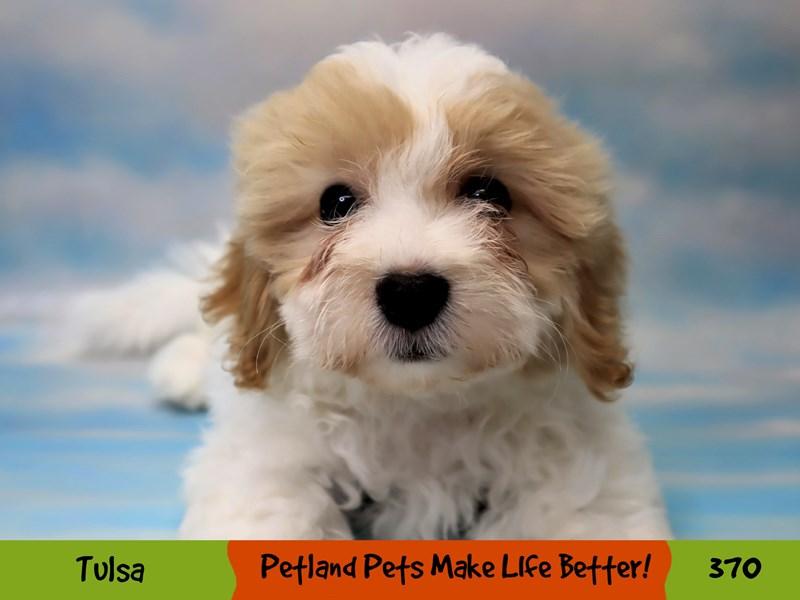 Teddy Bear-Male-White-3209514-Petland Oklahoma City & Tulsa