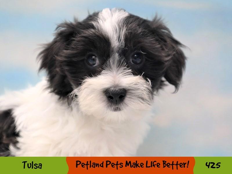Teddy Bear-Male-Black and White-3248987-Petland Oklahoma City & Tulsa