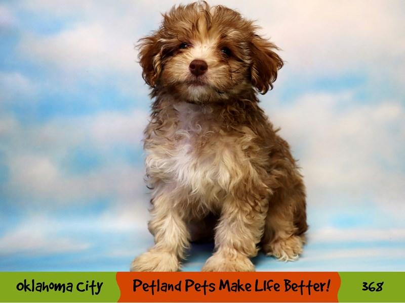 Yorkiepoo-Male-Brown-3248999-Petland Oklahoma City & Tulsa