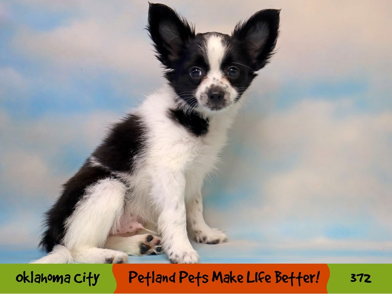Papillon-Male-White and Black-3249124-Petland Oklahoma City & Tulsa