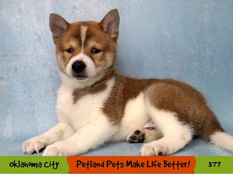 Shiba Inu-Male-Red Sesame / White-3259302-Petland Oklahoma City & Tulsa