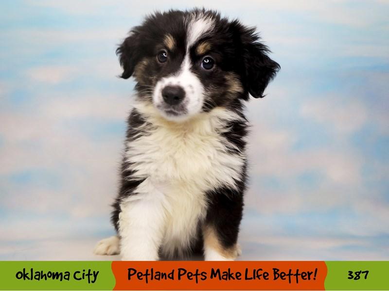 Miniature Australian Shepherd-Female-Black White and Brown-3257972-Petland Oklahoma City & Tulsa