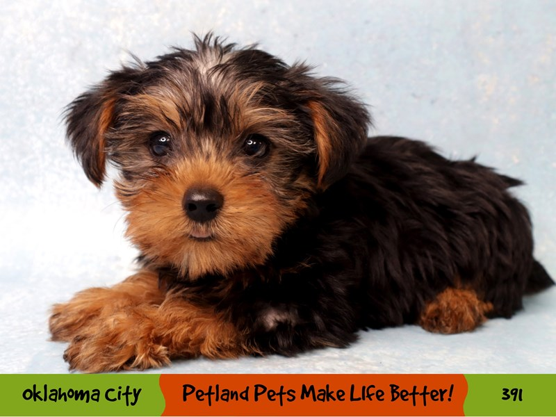 Yorkshire Terrier-Male-Black / Tan-3268866-Petland Oklahoma City & Tulsa