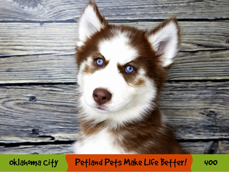 Siberian Husky-Male-Red and White-3267428-Petland Oklahoma City & Tulsa