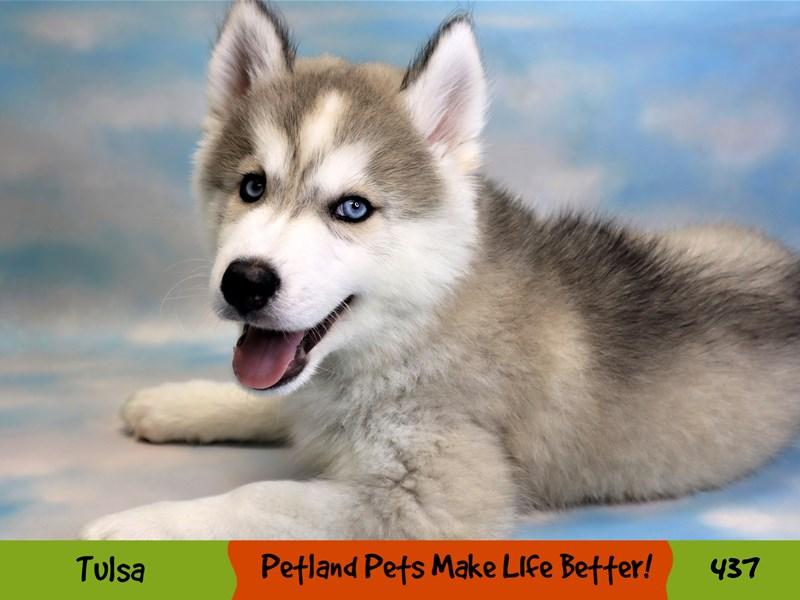 Siberian Husky-Male-Gray / White-3268856-Petland Oklahoma City & Tulsa