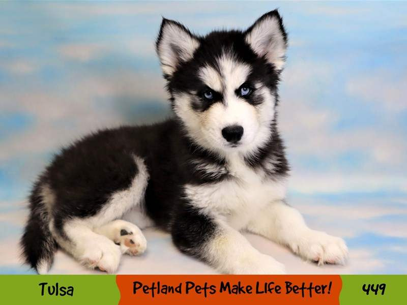 Siberian Husky-Female-Black and White-3267424-Petland Oklahoma City & Tulsa