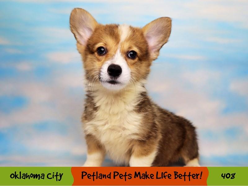 Pembroke Welsh Corgi-Male-Sable-3276450-Petland Oklahoma City & Tulsa