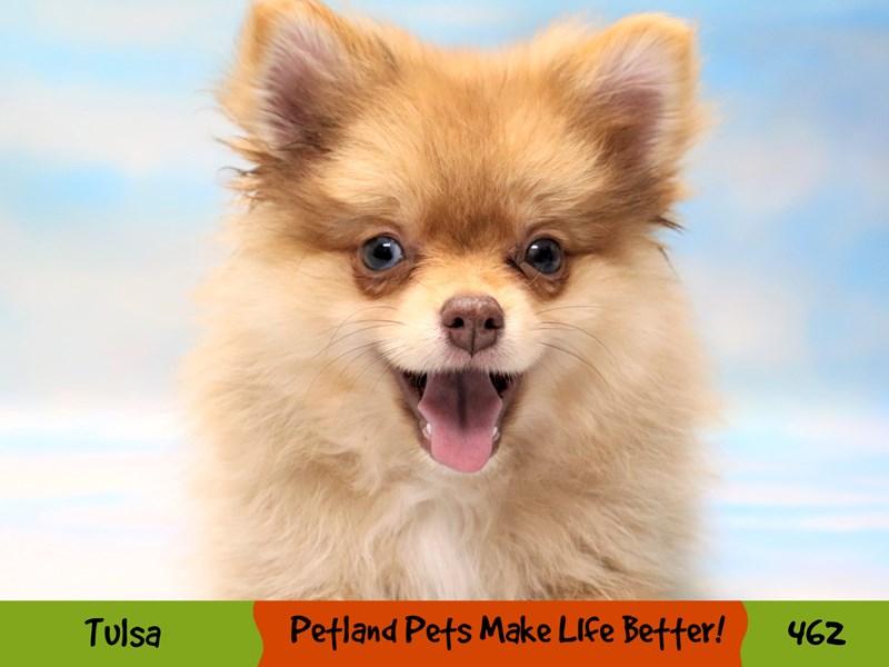 Pomeranian-Female-Red-3285569-Petland Oklahoma City & Tulsa