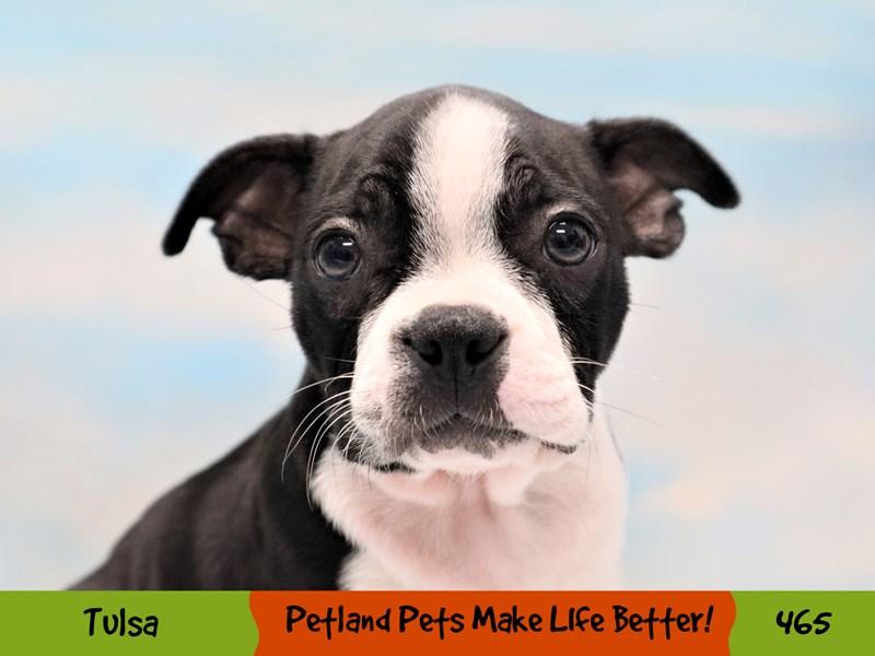 Boston Terrier-Female-Black and White-3285813-Petland Oklahoma City & Tulsa