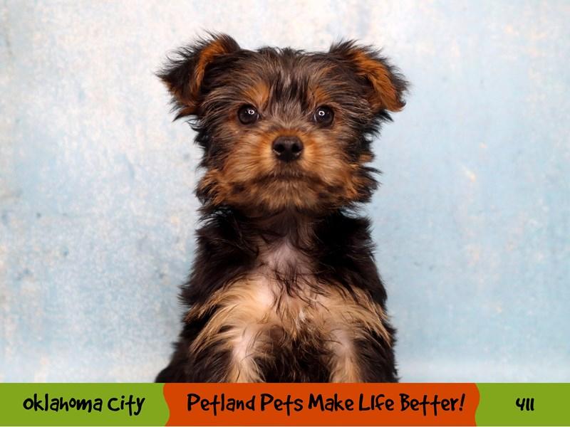 Yorkshire Terrier-Female-Black / Tan-3286823-Petland Oklahoma City & Tulsa