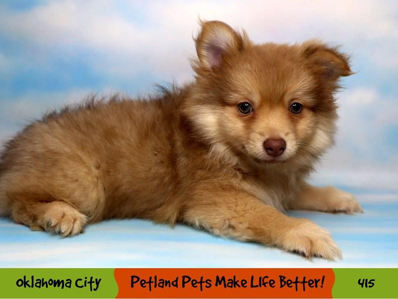 Pomeranian-Male-Chocolate Sable-3286829-Petland Oklahoma City & Tulsa