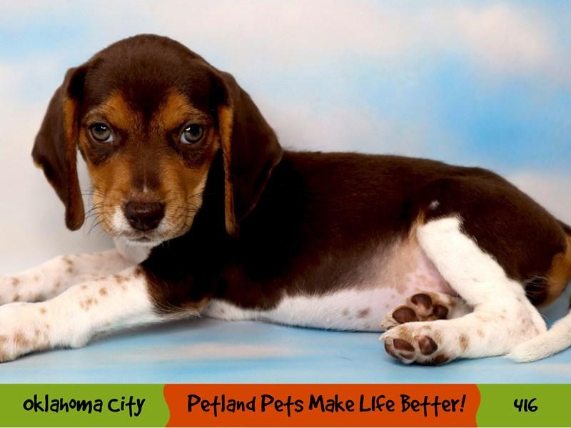Beagle-Female-Chocolate / Tan-3287018-Petland Oklahoma City & Tulsa