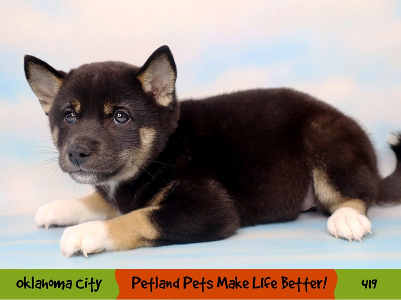 Shiba Inu-Female-Black and Tan-3285732-Petland Oklahoma City & Tulsa