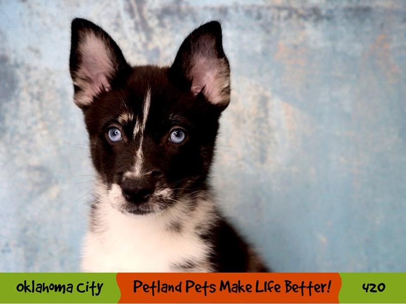 Pomski-Male-Black White and Tan-3285761-Petland Oklahoma City & Tulsa