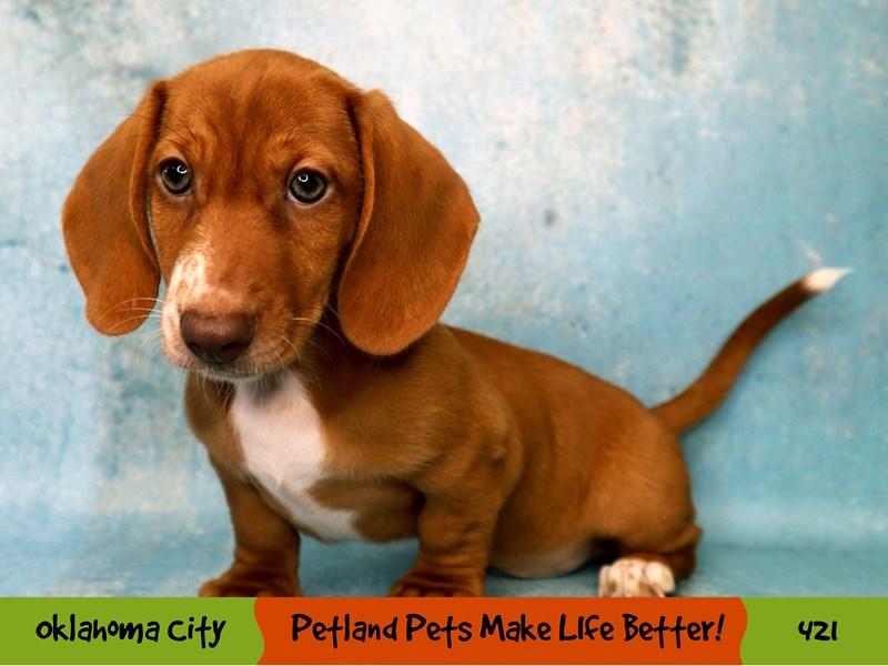 Dachshund-Male-Red-3285774-Petland Oklahoma City & Tulsa
