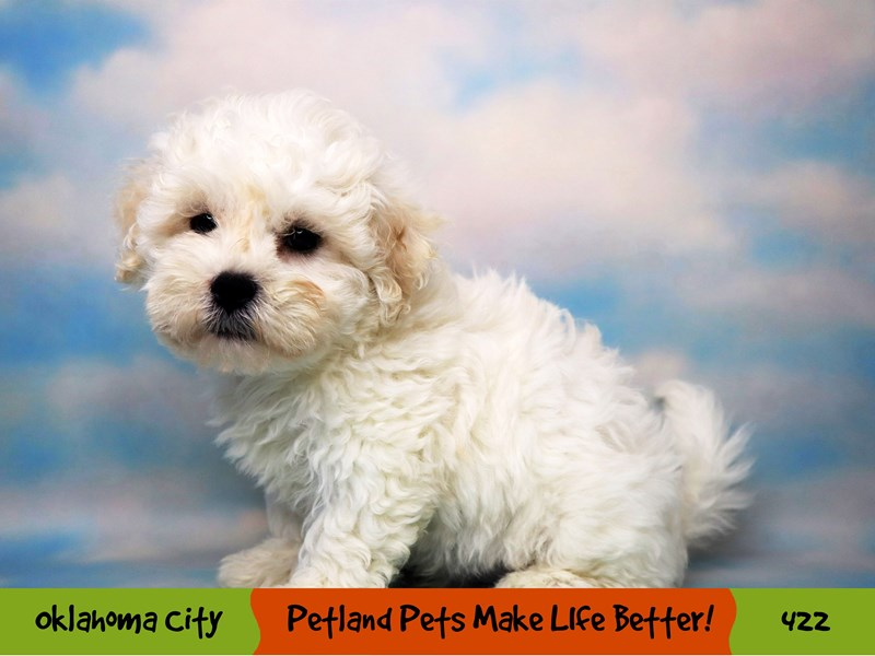 Teddy Bear-Male-White-3285820-Petland Oklahoma City & Tulsa