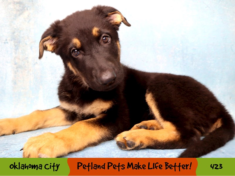 German Shepherd-Female-Black and Tan-3295149-Petland Oklahoma City & Tulsa