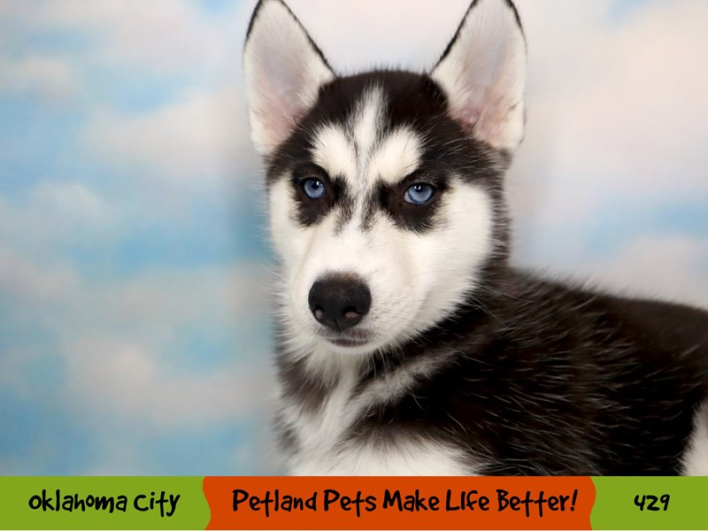 Siberian Husky-Female-Black and White-3295337-Petland Oklahoma City & Tulsa