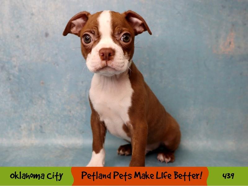 Boston Terrier-Male-Seal / White-3295869-Petland Oklahoma City & Tulsa